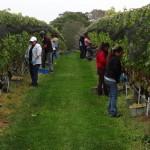 Wolfer Estates Vineyard
